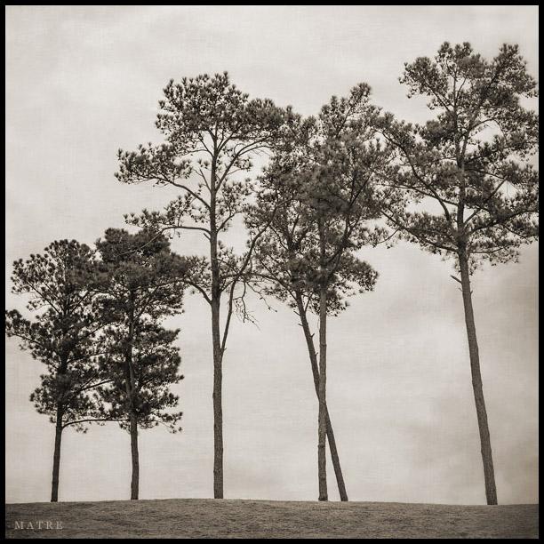 Pine Trees   North Georgia