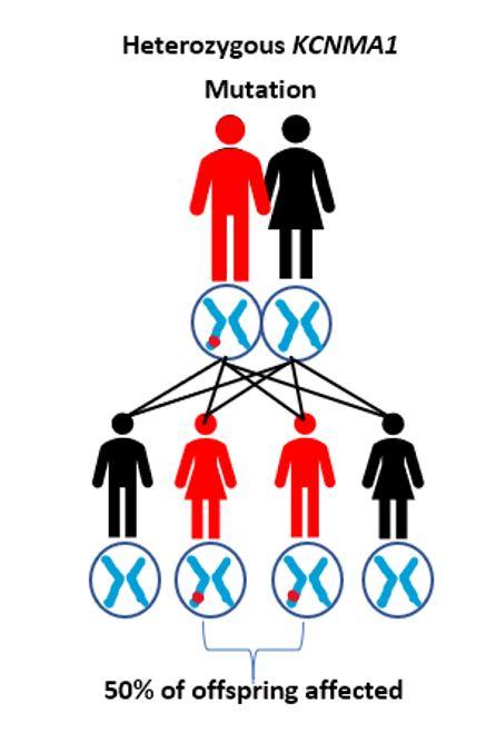 Heterozygous Mutation.JPG