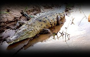 Jungle Crocodile Safari    Tarcoles, Costa Rica  Show on map   21.15 miles from property  Get Directions    Website   Enjoy an amazing and unforgettable tour, where you can see big crocodiles reaching a length of about 4 meters