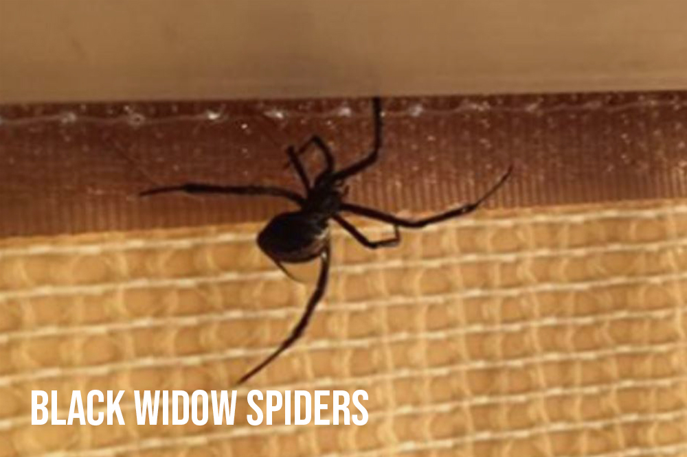 Black Widows Website.jpg
