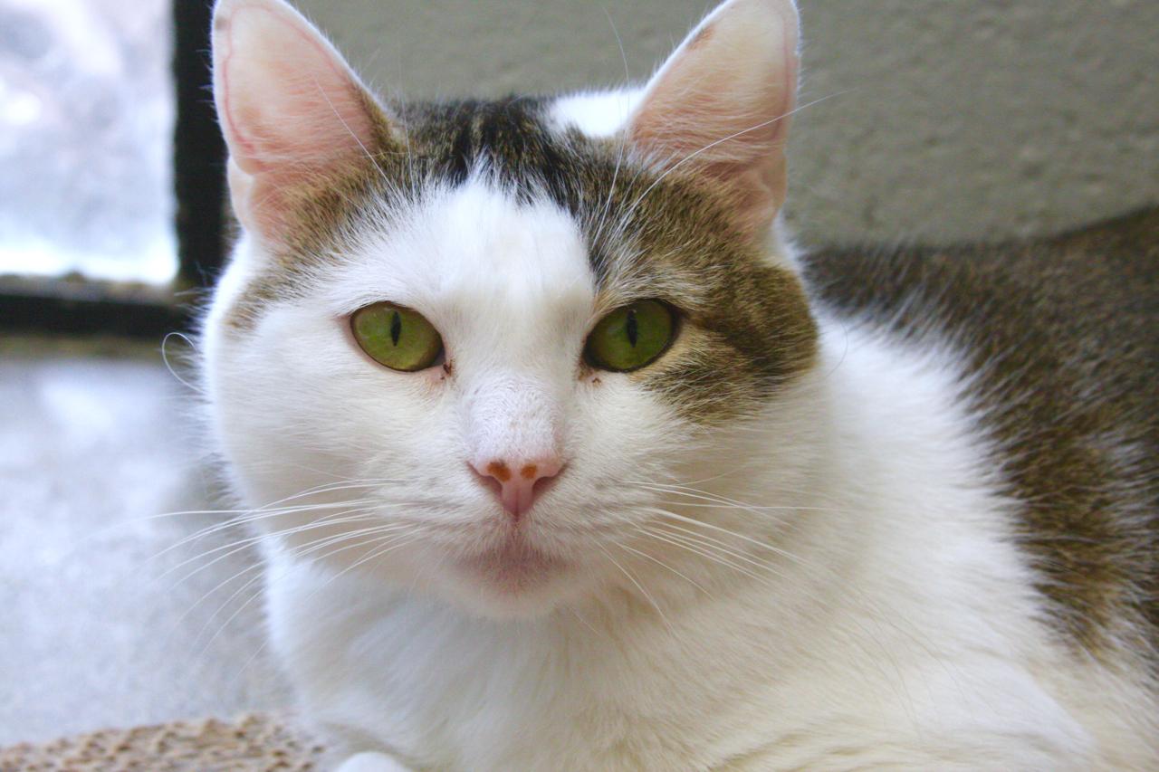 Sheba - 6 yr old spay neutered domestic short hair mixed breed, white/grey