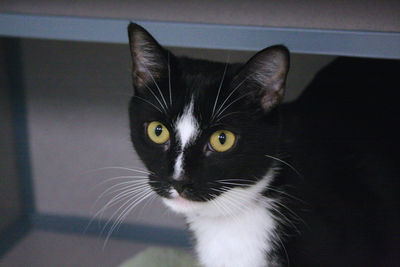 Kevin - 2 yr. old cat , domestic short hair mixed breed, black and white