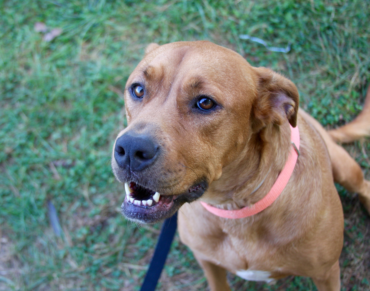 Jersey,  6 yr old female Lab mix