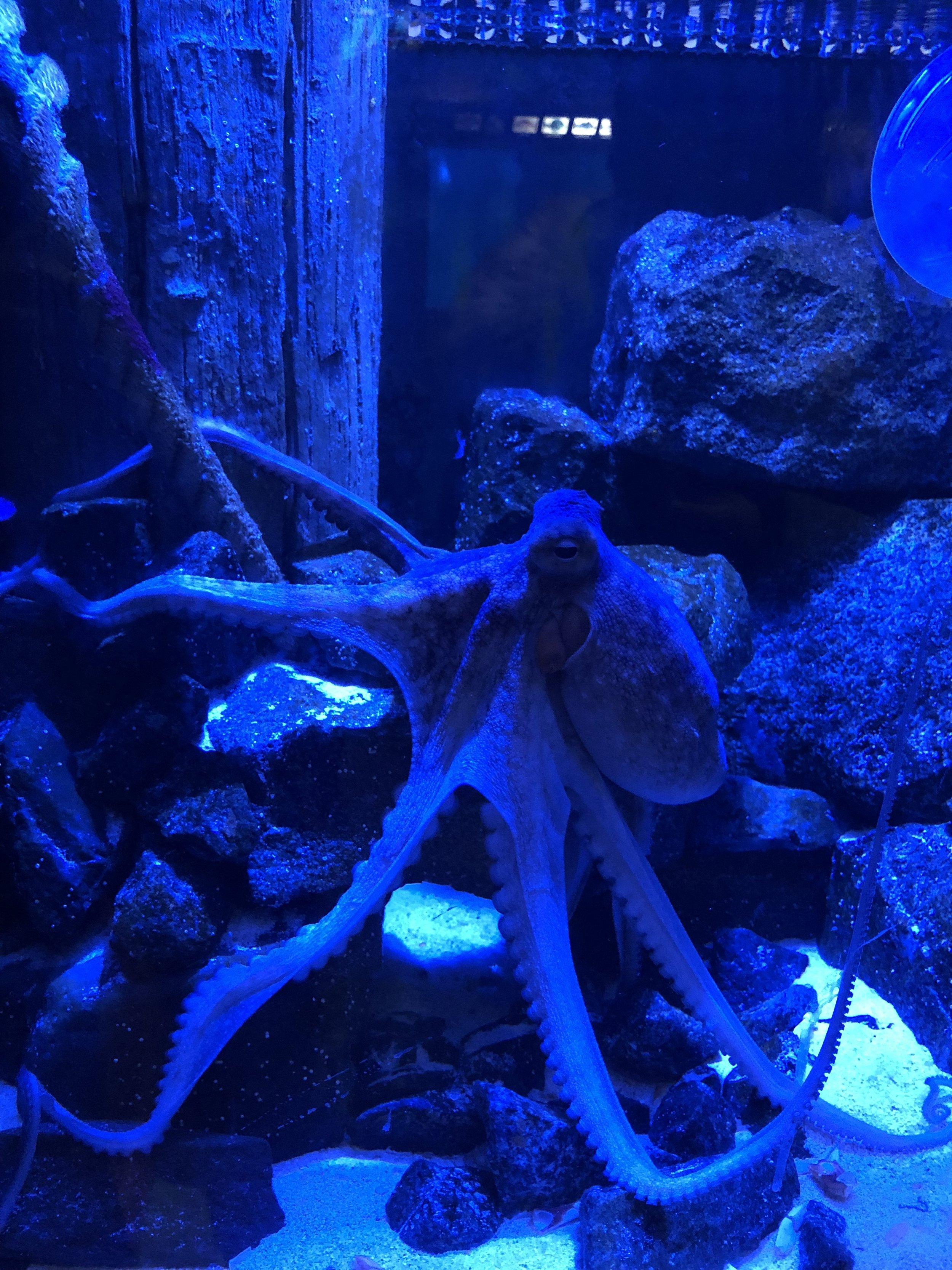 Aquarium: Octopus
