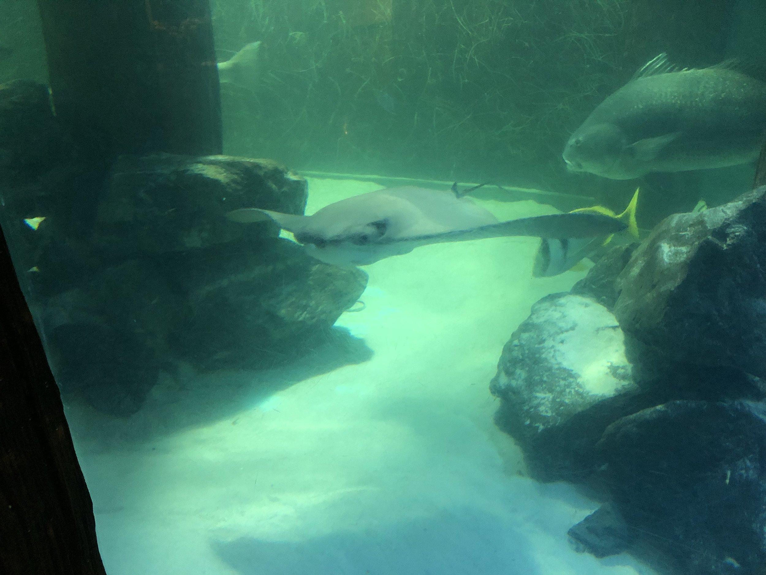Aquarium: Stingray