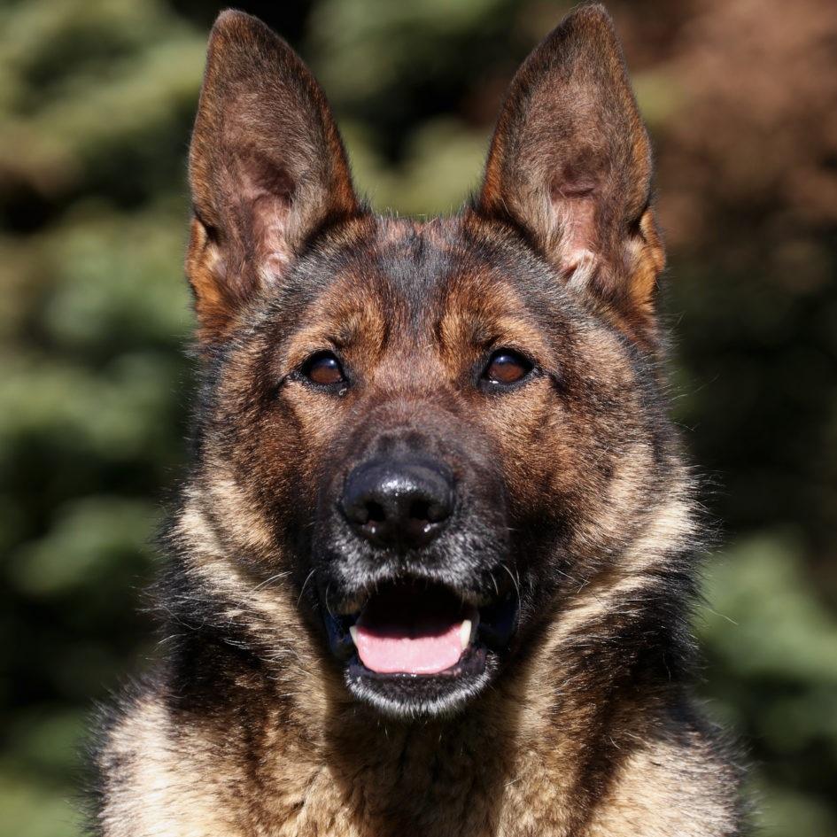 Lisa vom Haus Weislogel - BH: Basic companion dog - traffic sureness. AD: Endurance test (Aus dauerprufing )IPO1: International Novice Schutzhund trial qualificationKKL: survey class GENDER: FemaleDOB: