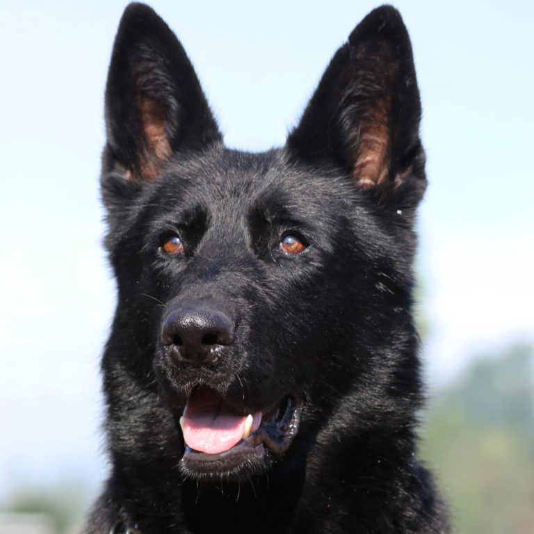 Nevada vom Gut Korten - BH: Basic companion dog - traffic sureness. AD: Endurance test (Aus dauerprufing )IPO1: International Novice Schutzhund trial qualificationKKL: Survey class GENDER: FemaleDOB: