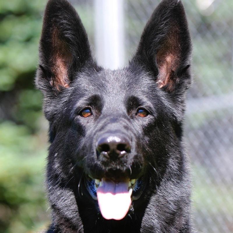 Kali vom Forstamtsgrten - BH: Basic companion dog - traffic sureness. AD: Endurance test (Aus dauerprufing )IPO1: International Novice Schutzhund trial qualificationKKL: Survey class GENDER: FemaleDOB: