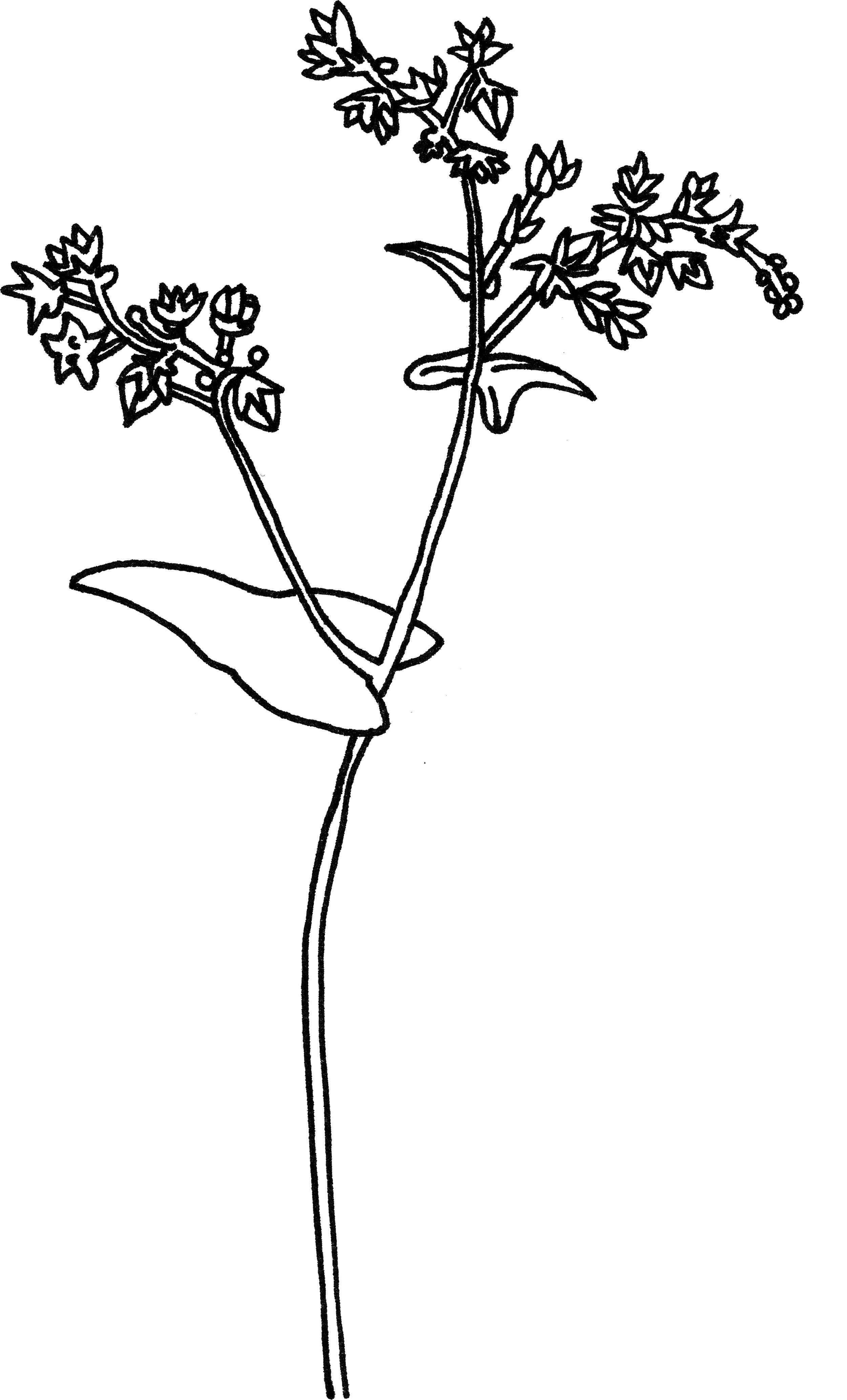 Buckwheat Flower.jpg