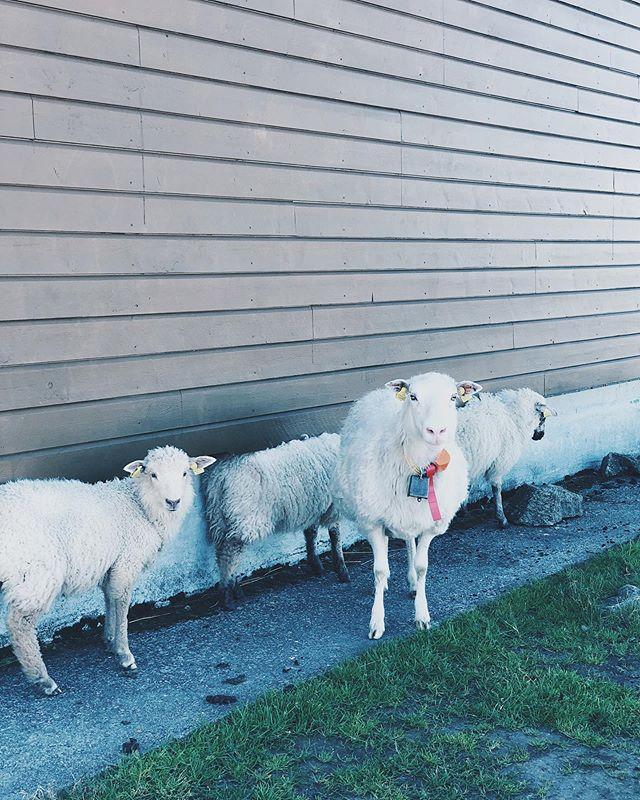 Vært tur / retur Rundemanen og møtte denne familien i dag. 🐑 Herlighet så gøy! • #livetsomkrølltopp #sauerpåfjellet #rundemanen #rundemanen568moh #byfjellene #byfjelleneibergen #bergenby #sheepsofinstagram