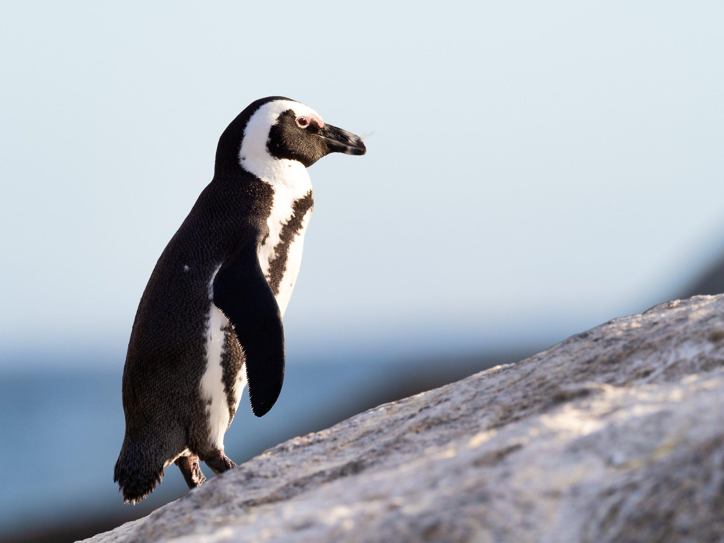 Happy Penguin Awareness Day -
