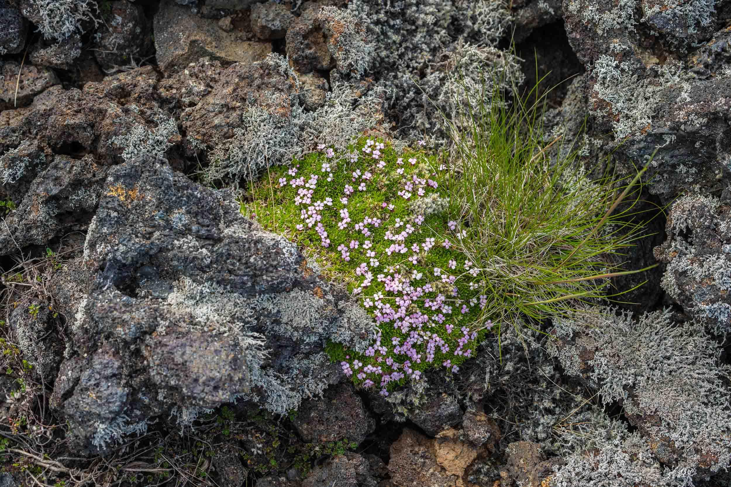 Lava moss grass