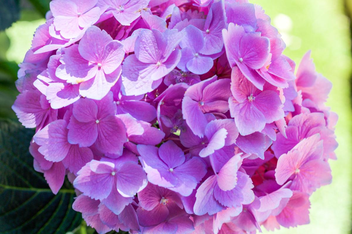 flowers, hydrangeas, hydrangea, summer blooms, purple flowers
