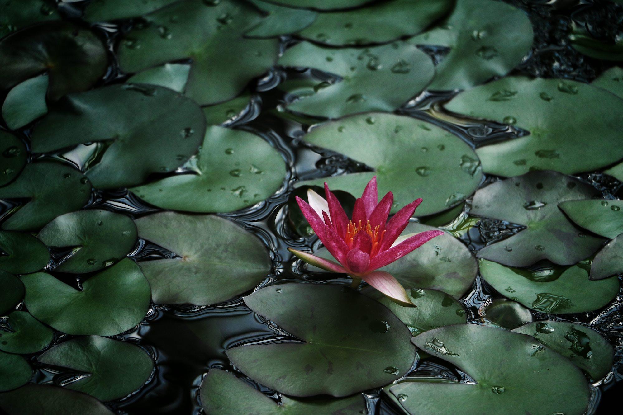 lily-pads.jpg