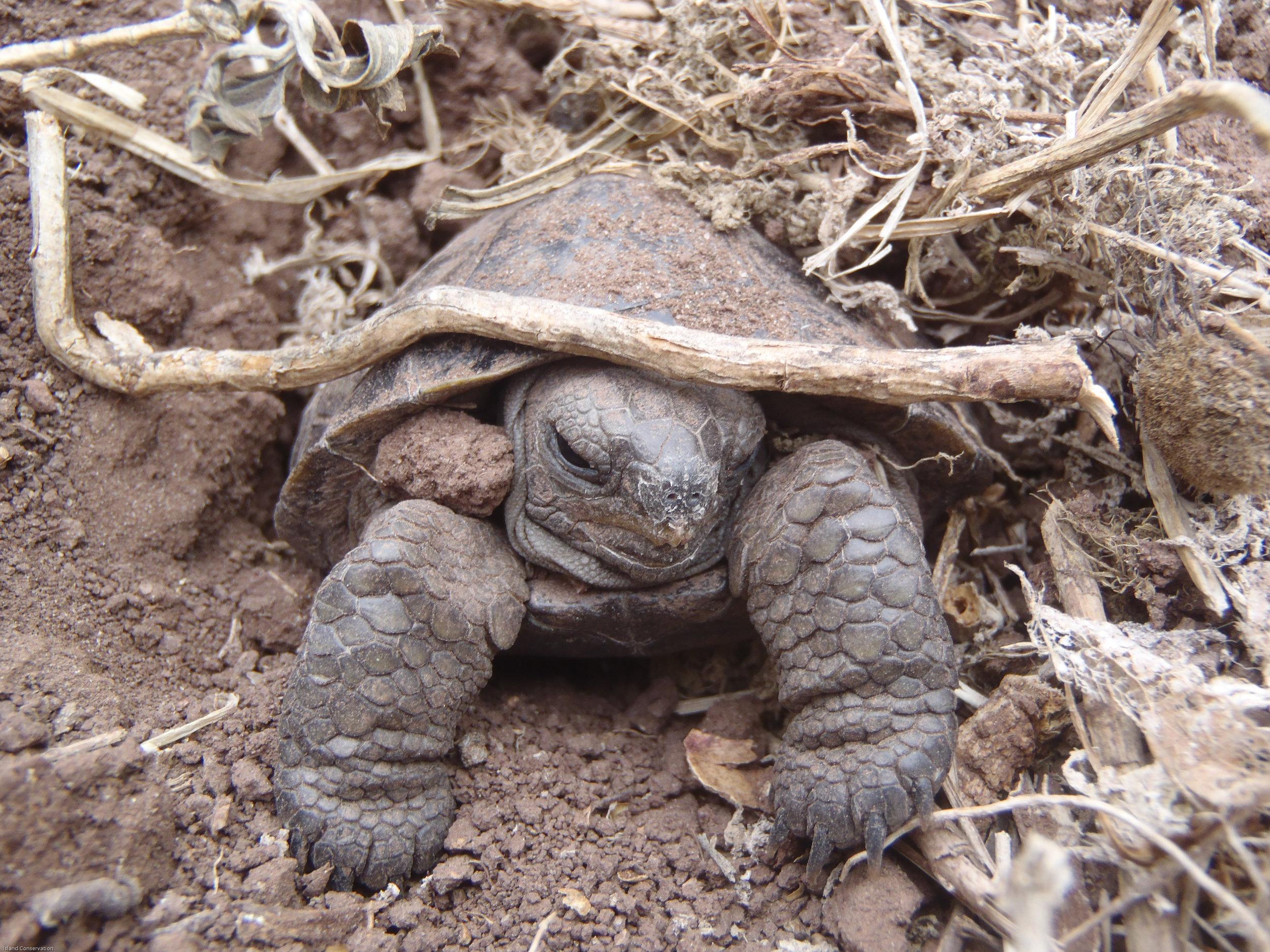 A Pinzon tortoise hatchling in the wild.