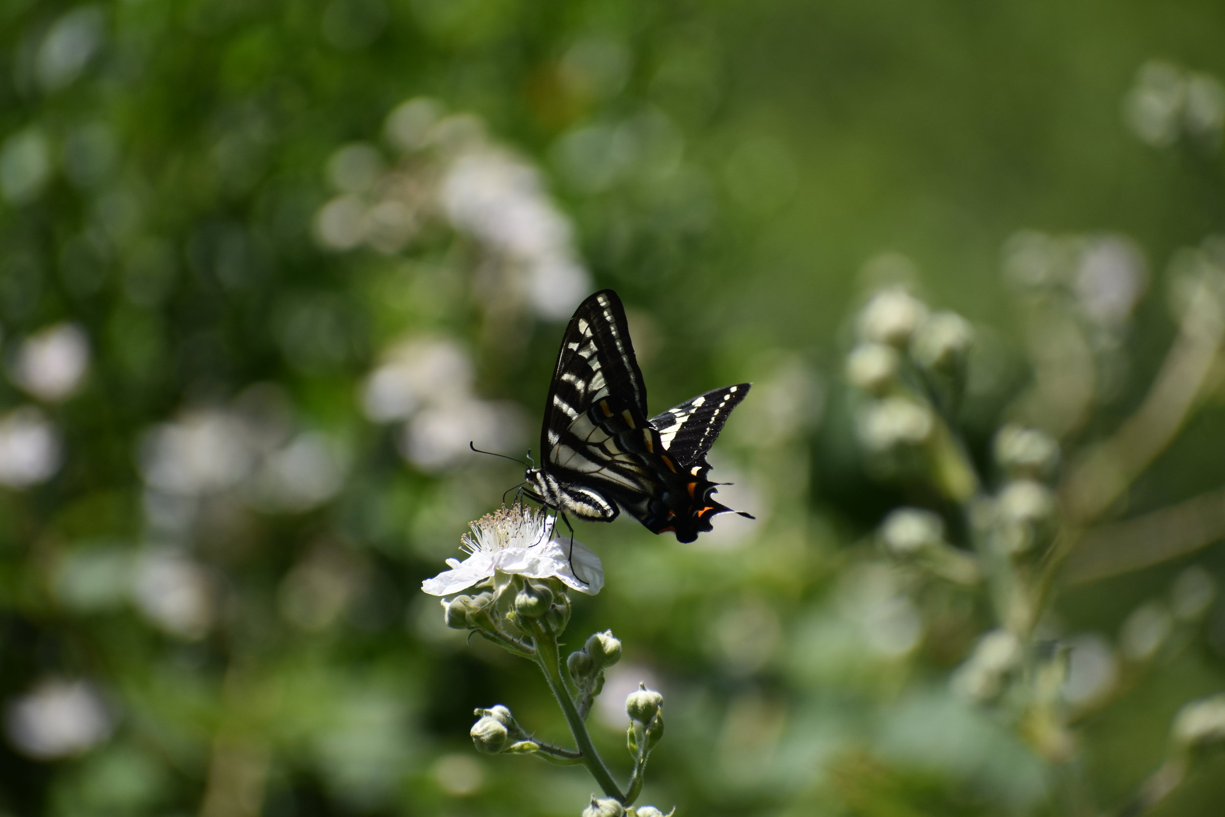Butterfly, North Bend, OR