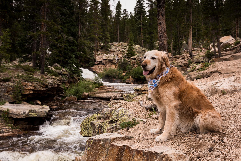 Companion Golden Retriever Rescue