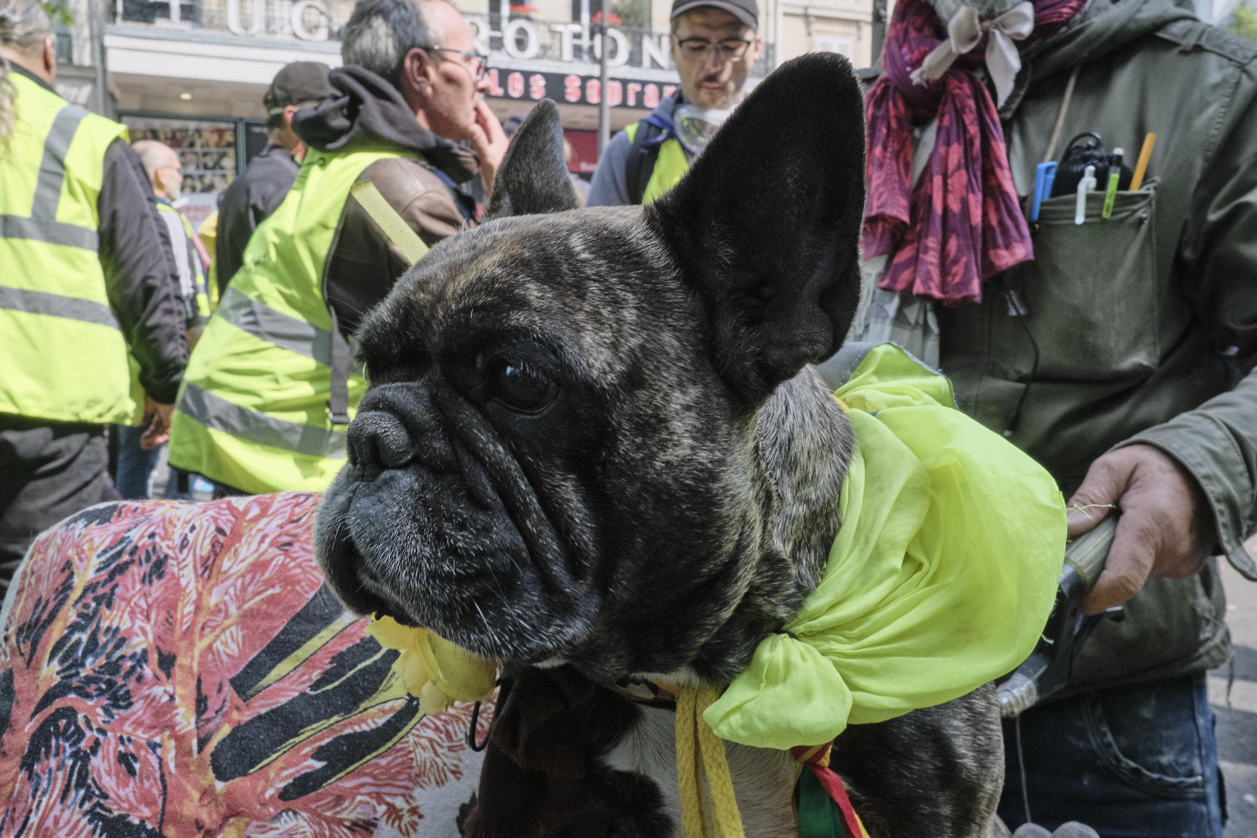 A Gilet Jaune French Bulldog.