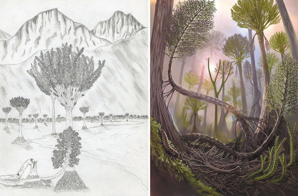 Gilboa Fossil Forest Illustrations  left:  ©  Frank Mannolini, New York State Museum; right:  ©  Victor O. Leshyk