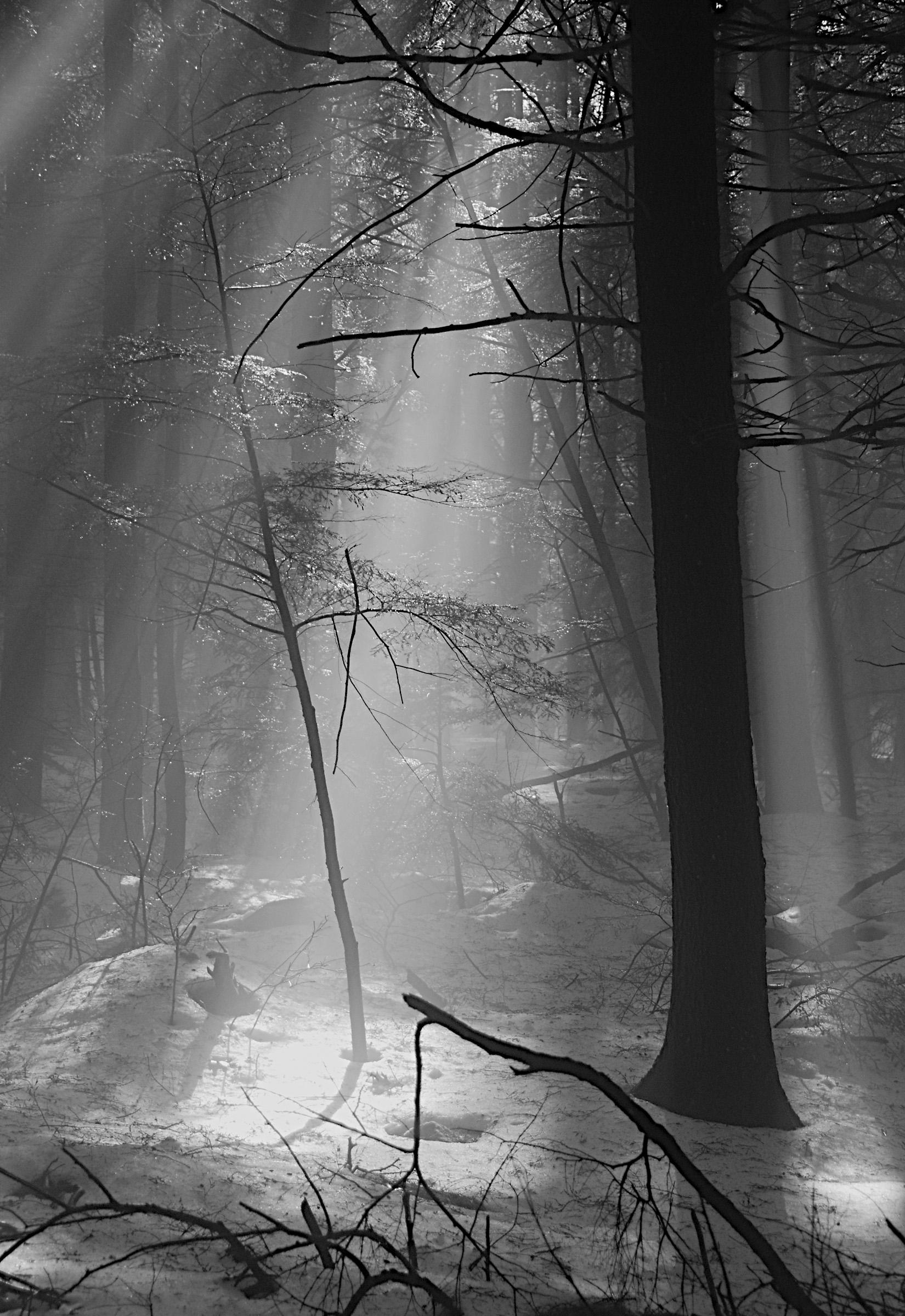 Hemlock in the mist
