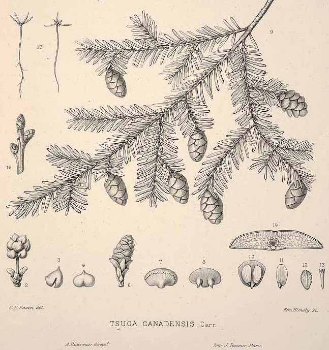 © C.S. Sargent, Tsuga canadensis — or, eastern hemlock. From The Silva of North America, vol. 12: t. 603 (1898). Illustrations: C.E. Faxon.