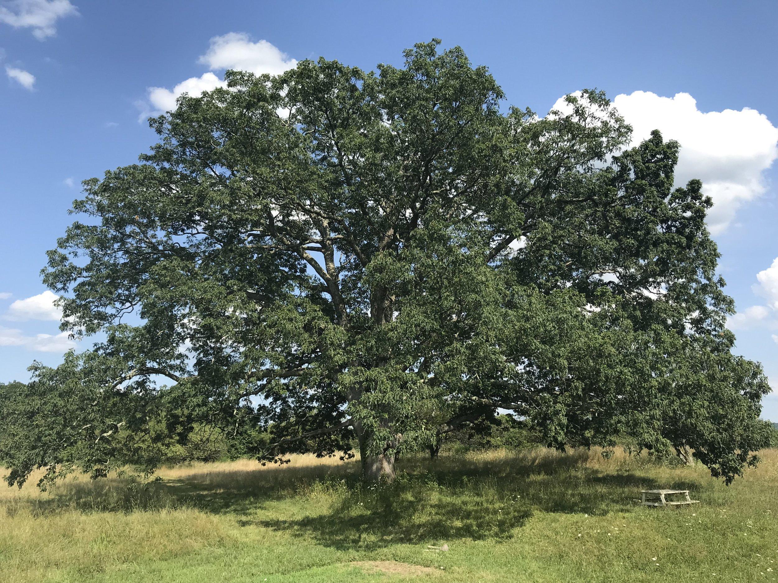 © Anna Van Lenten, 350+ year old oak tree at Stone Ridge Orchard, NY