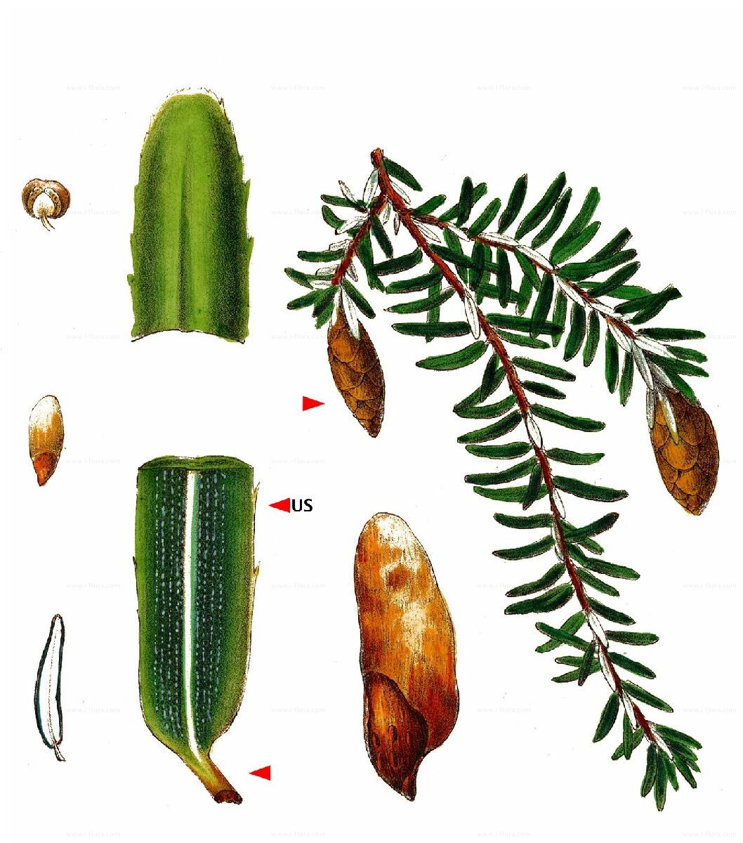 "© Thierfelder, Ralf. ""Species."" Species - Eastern Hemlock-Spruce (Tsuga Canadensis (L.) Carrière)."