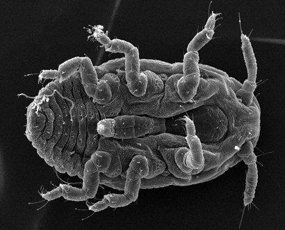Tree-killing hemlock woolly adelgid beetle.