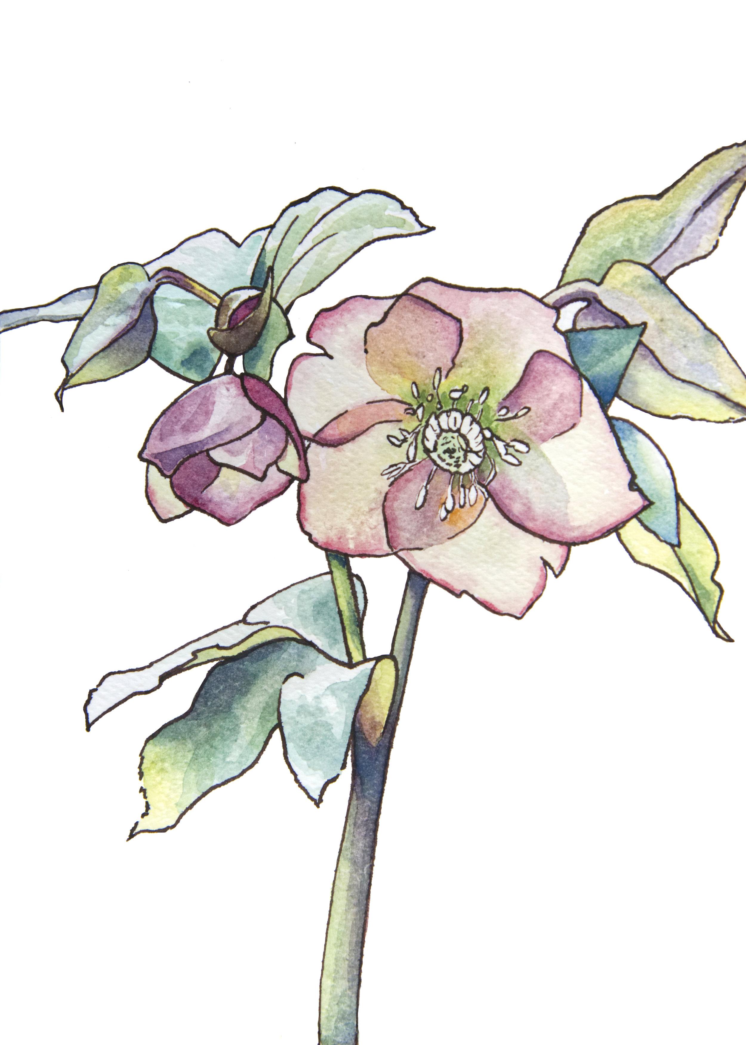 Lenten Rose.jpg
