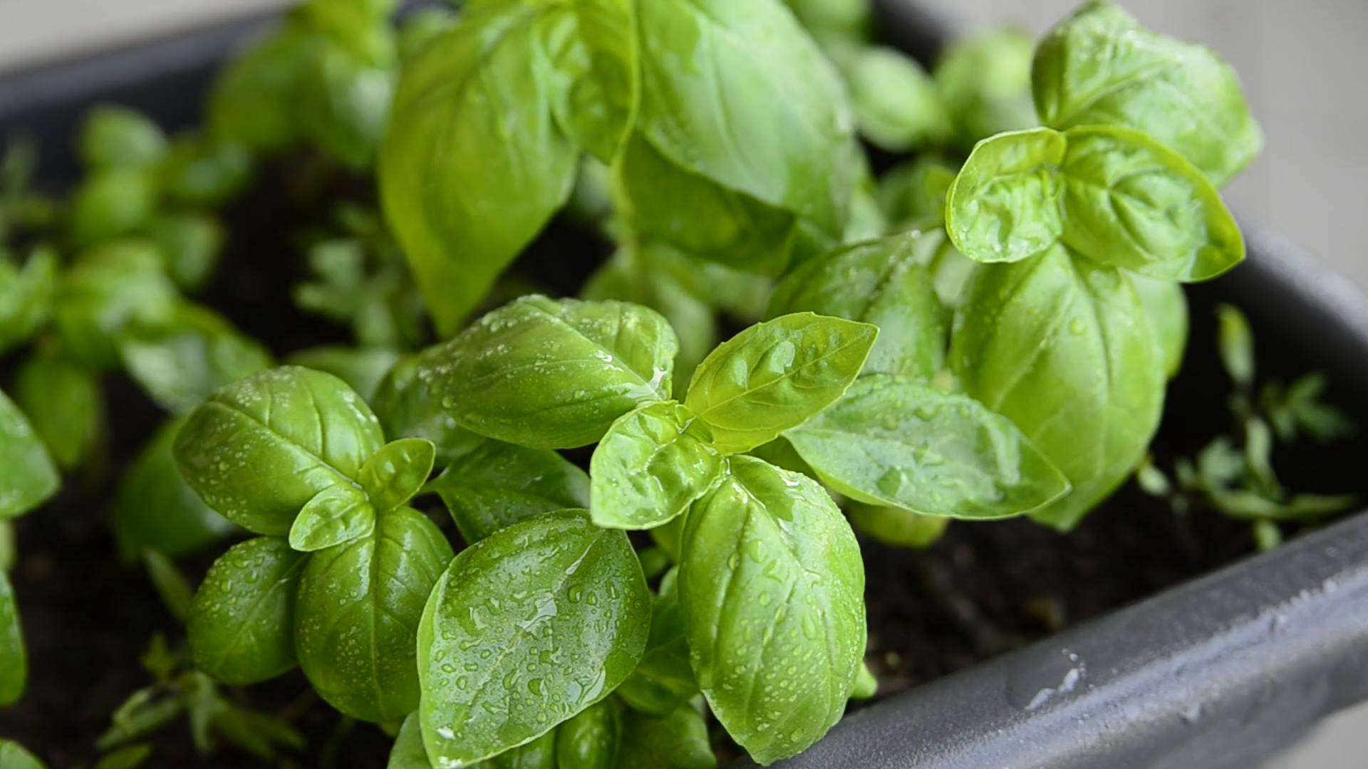 videoblocks-potted-basil-close-up-leaves-of-intense-green-color-with-drops-of-dew-move-slightly-moved-by-the-wind_r8e3avd17_thumbnail-full01.png