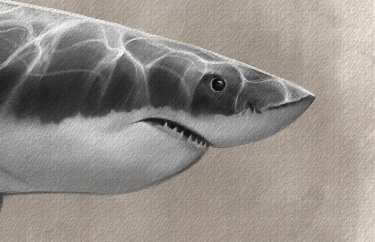 greatwhiteshark_drawing.jpg