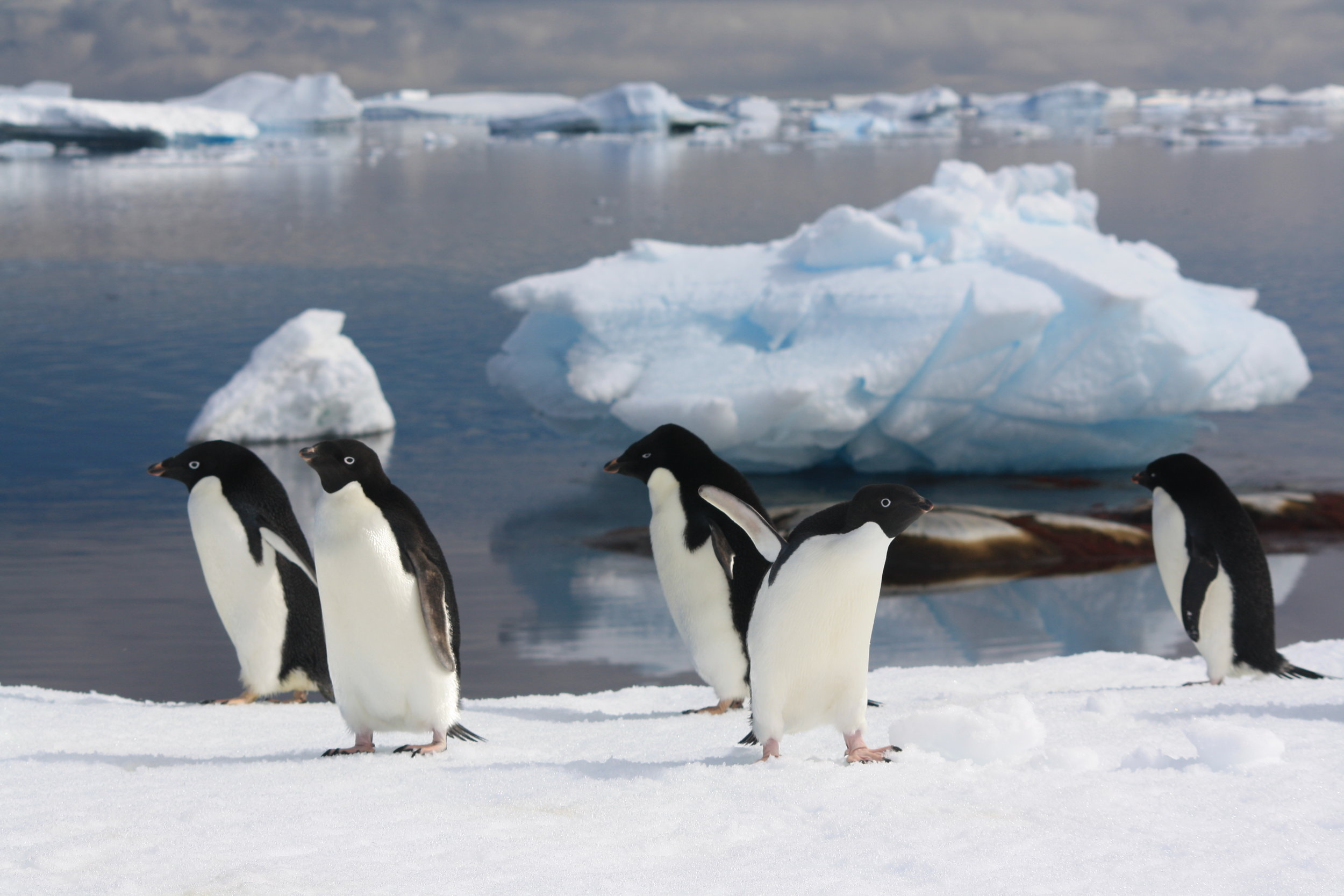 Adélie penguins live in the Antarctic sea ice zone, one of the most rapidly changing environments on earth.