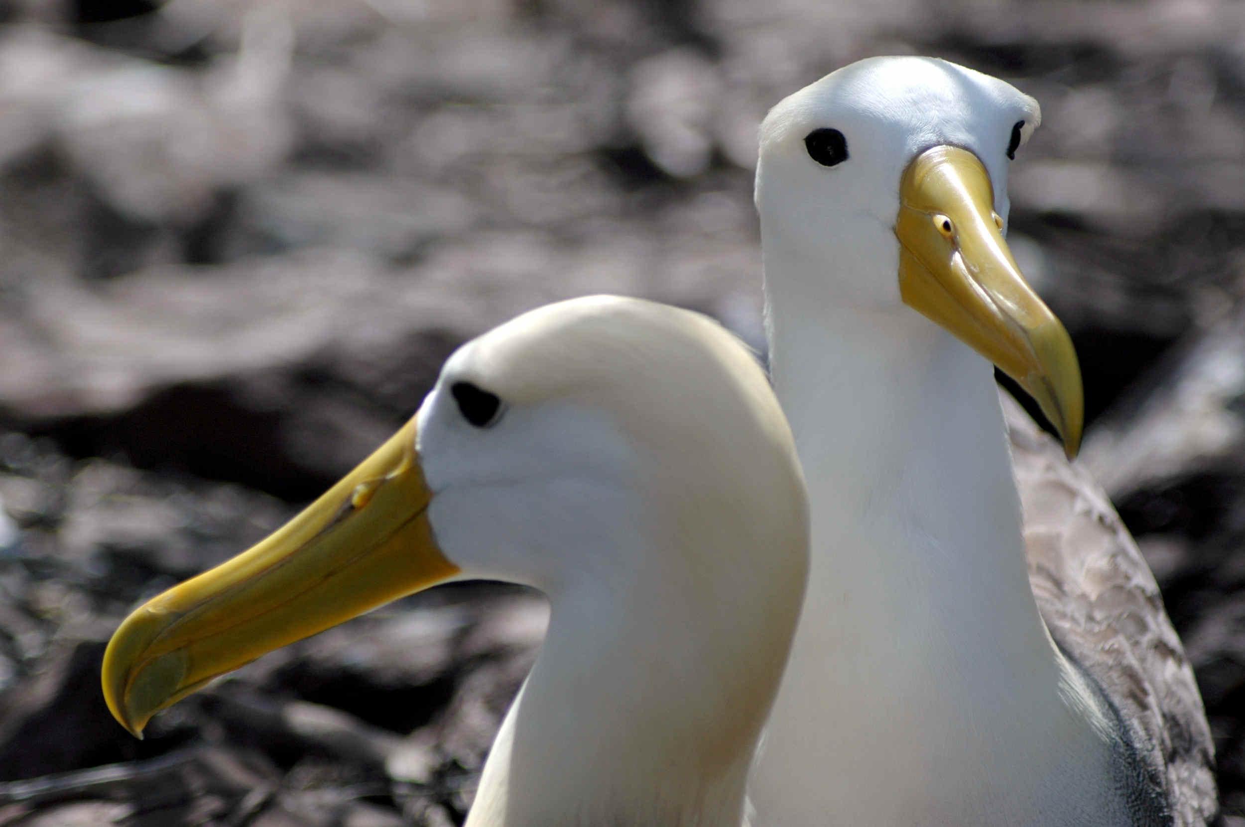 Waved Albatrosses, Galapagos Islands