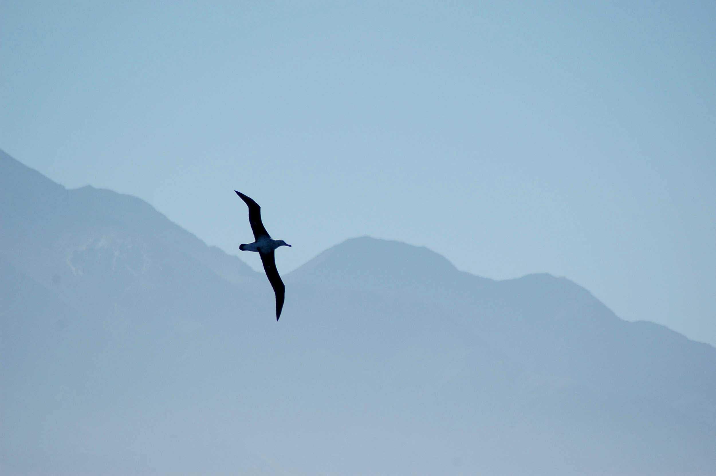 Albatross, New Zealand