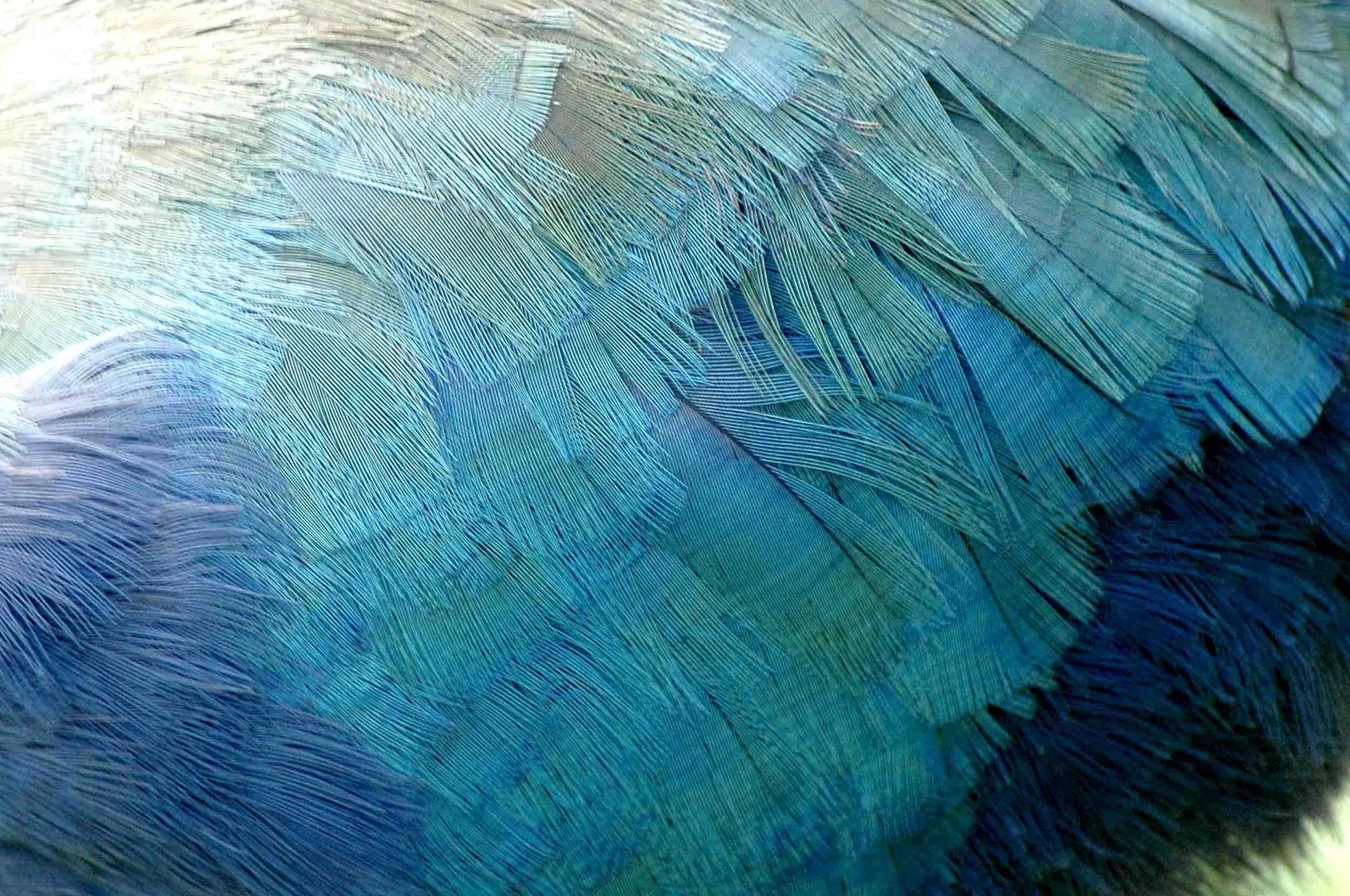 Takahe feathers, New Zealand