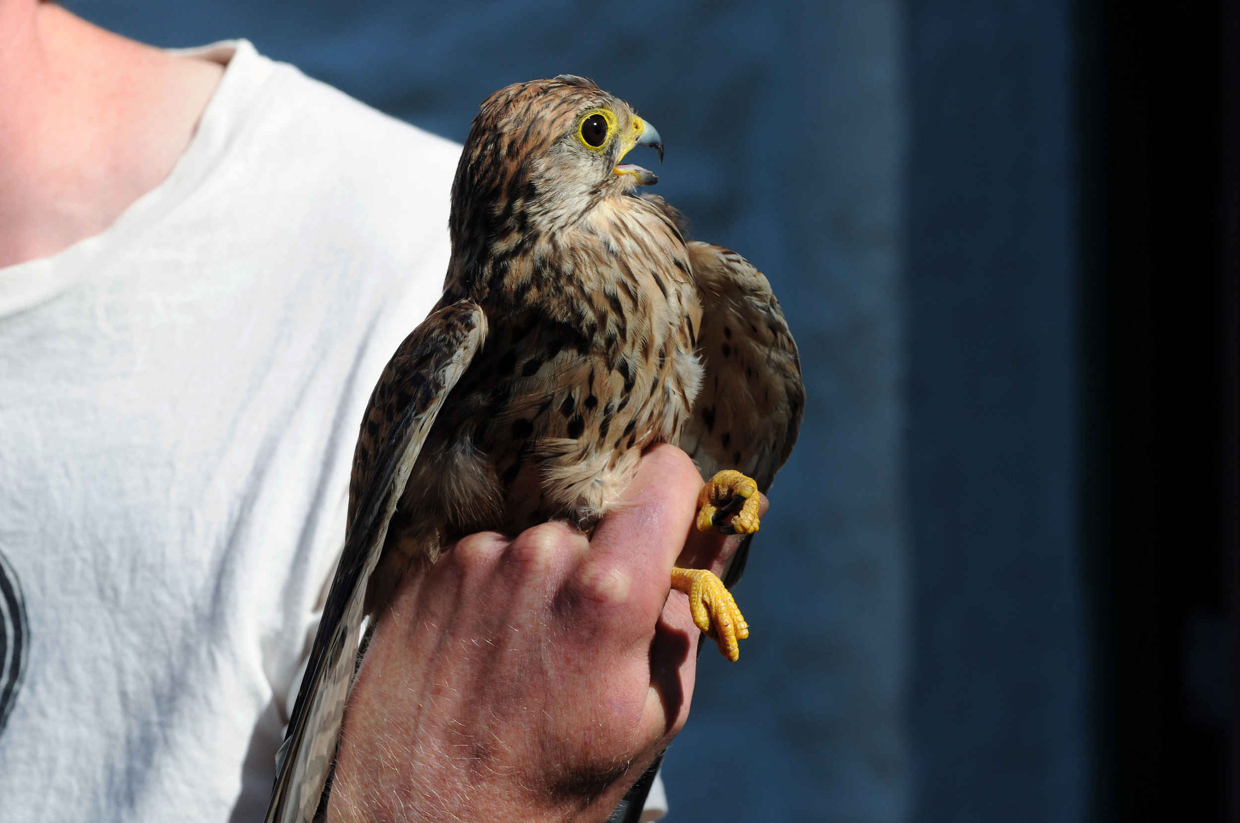 A Kestrel at the Observatory on the Calf of Man. Birds captured for study are measured, weighed, ringed, recorded and released.