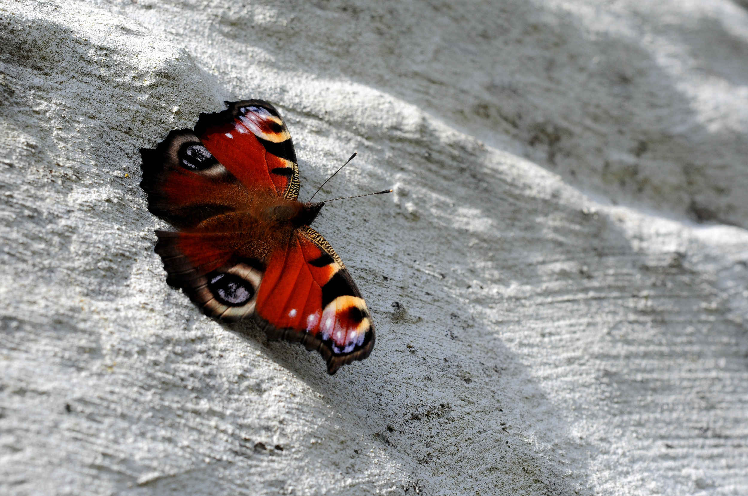 A Peacock butterfly at the Observatory on the Calf of Man