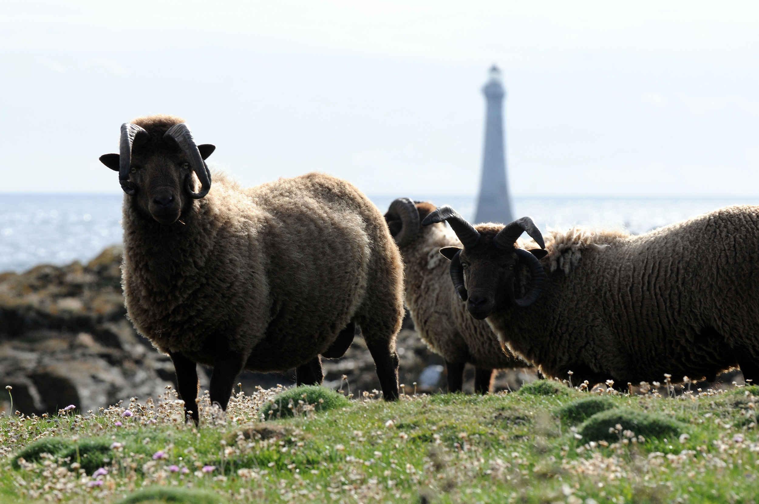 Loughtan sheep on the Calf of Man