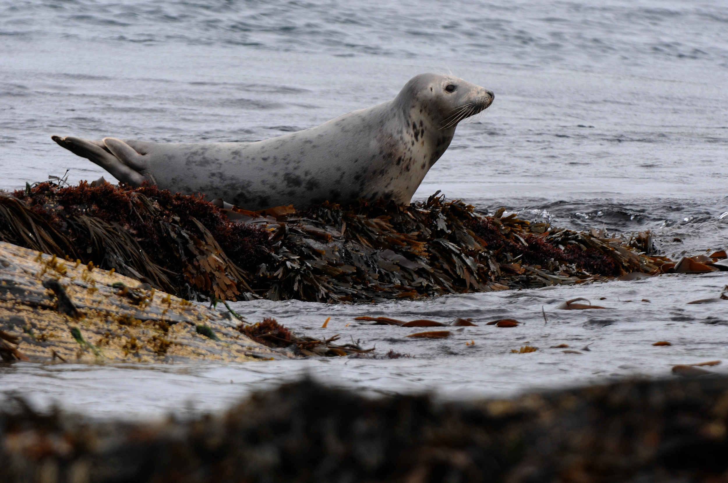 A seal on the Calf of Man