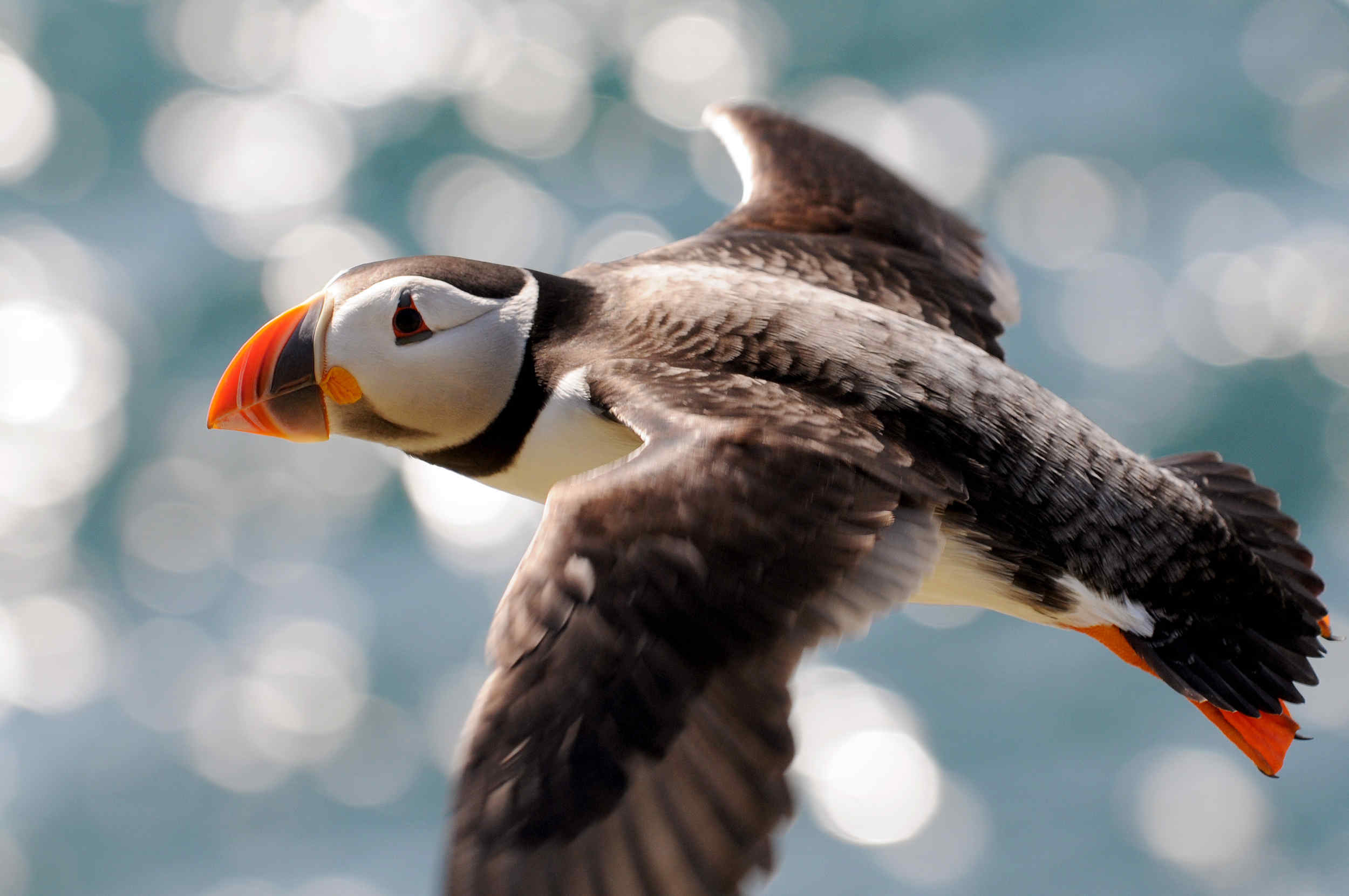 A puffin seen from the island's western cliffs