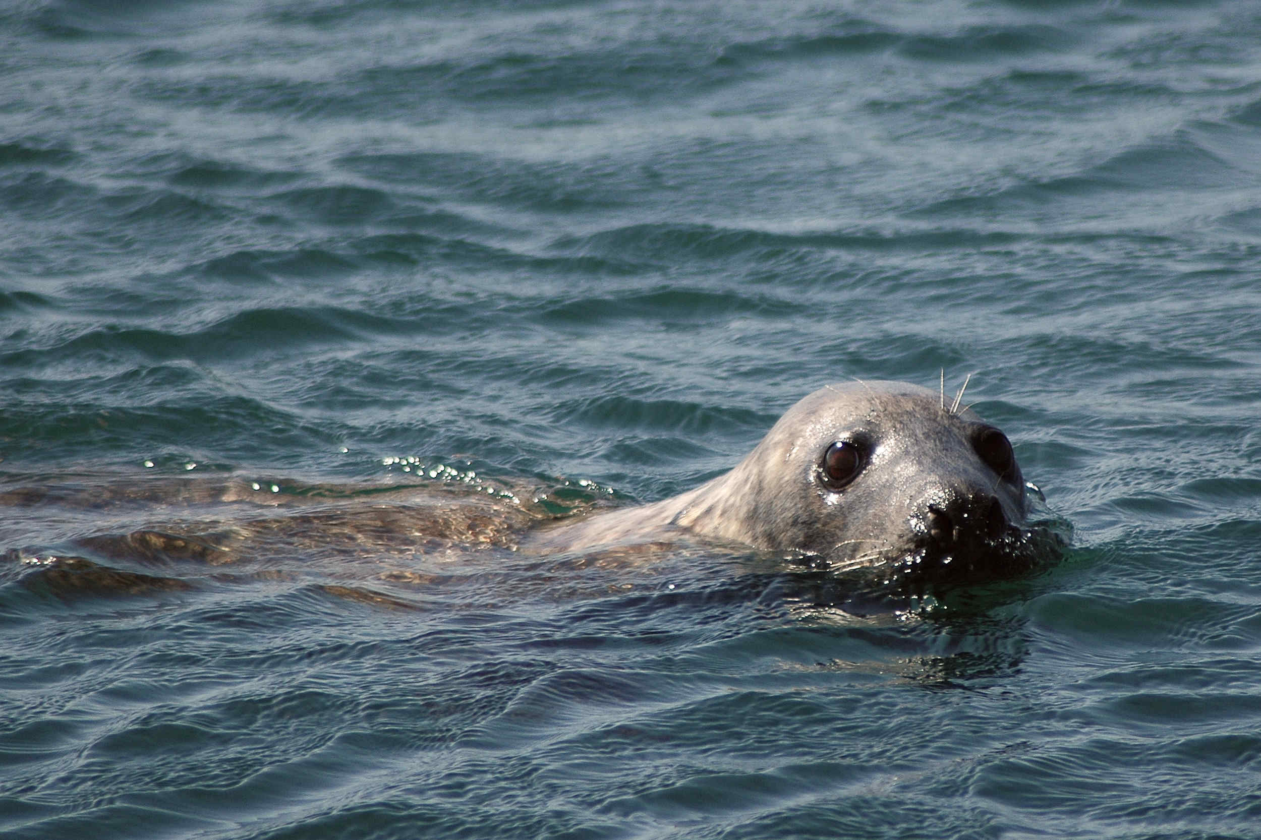A seal pup at the Sound