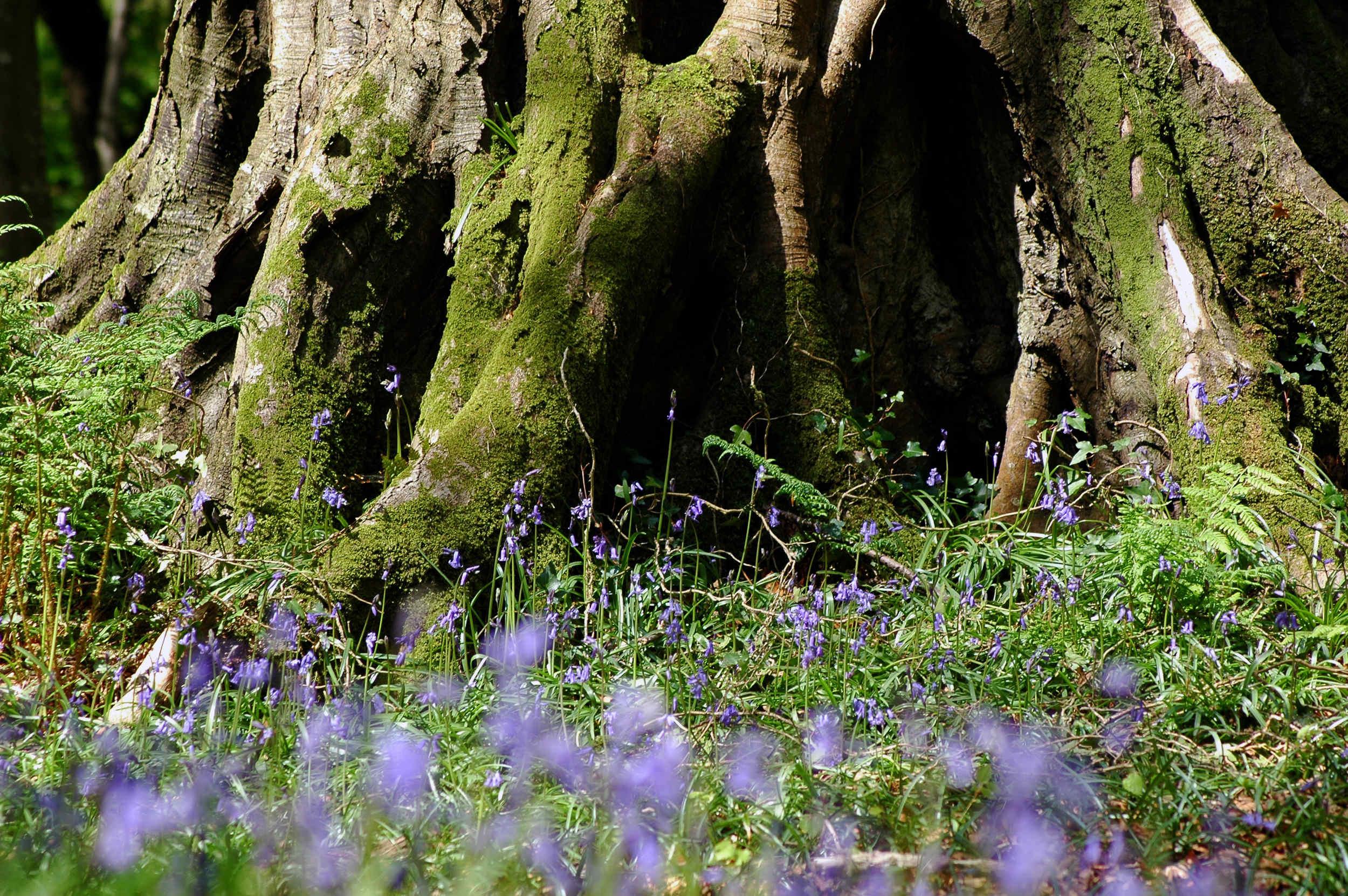 Bluebells in bloom in Ballaglass Glen