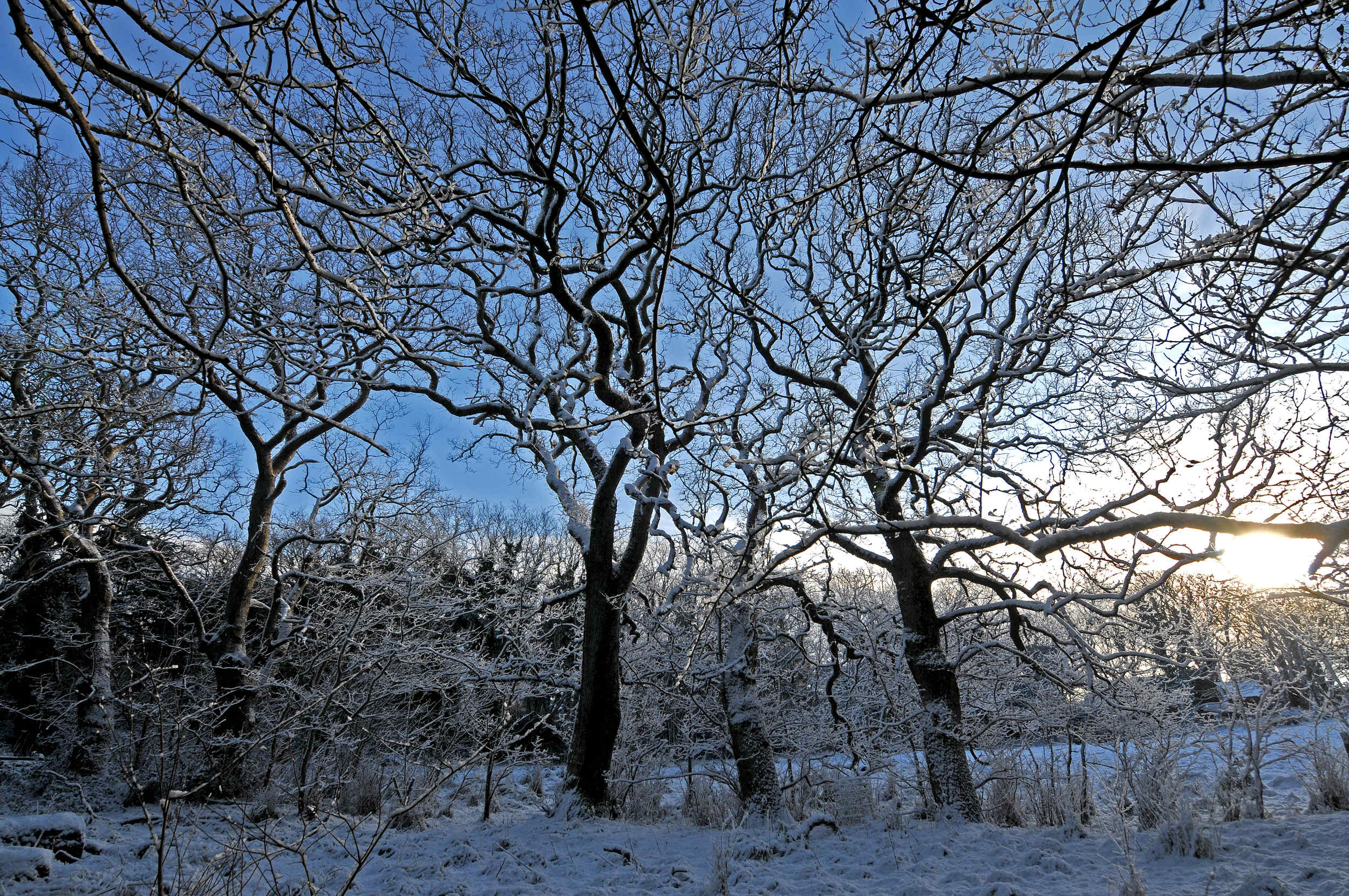 Snow-covered trees near Kirk Michael