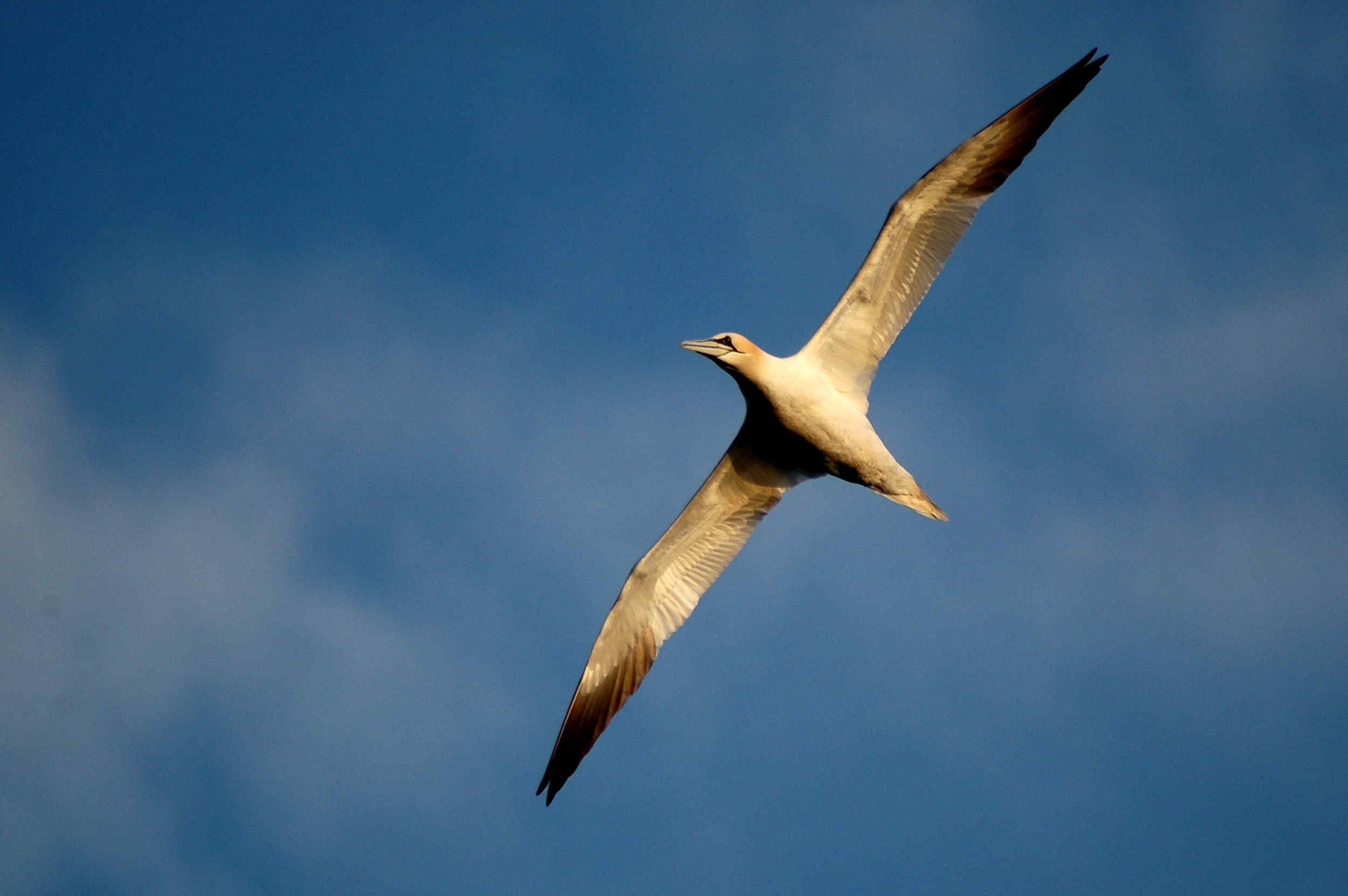 A gannet in the evening light at the Sound.