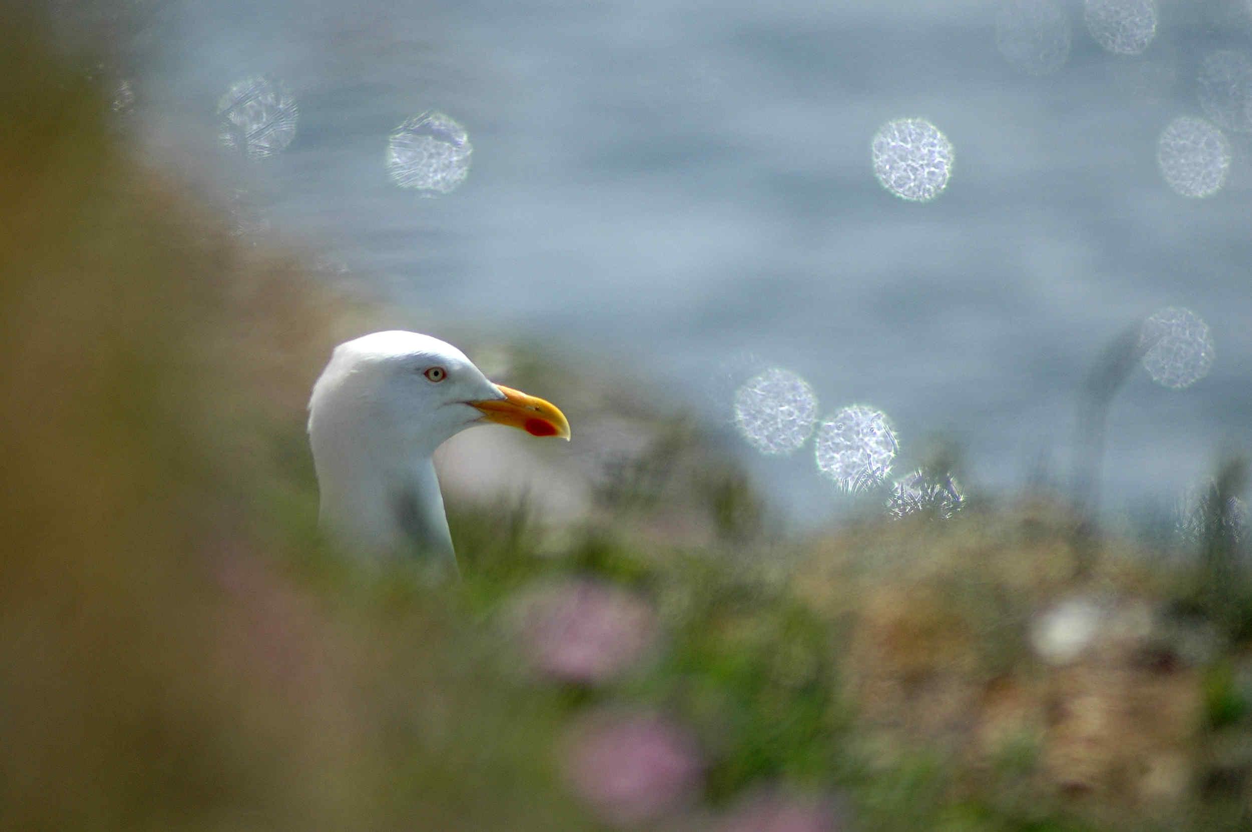 A herring gull