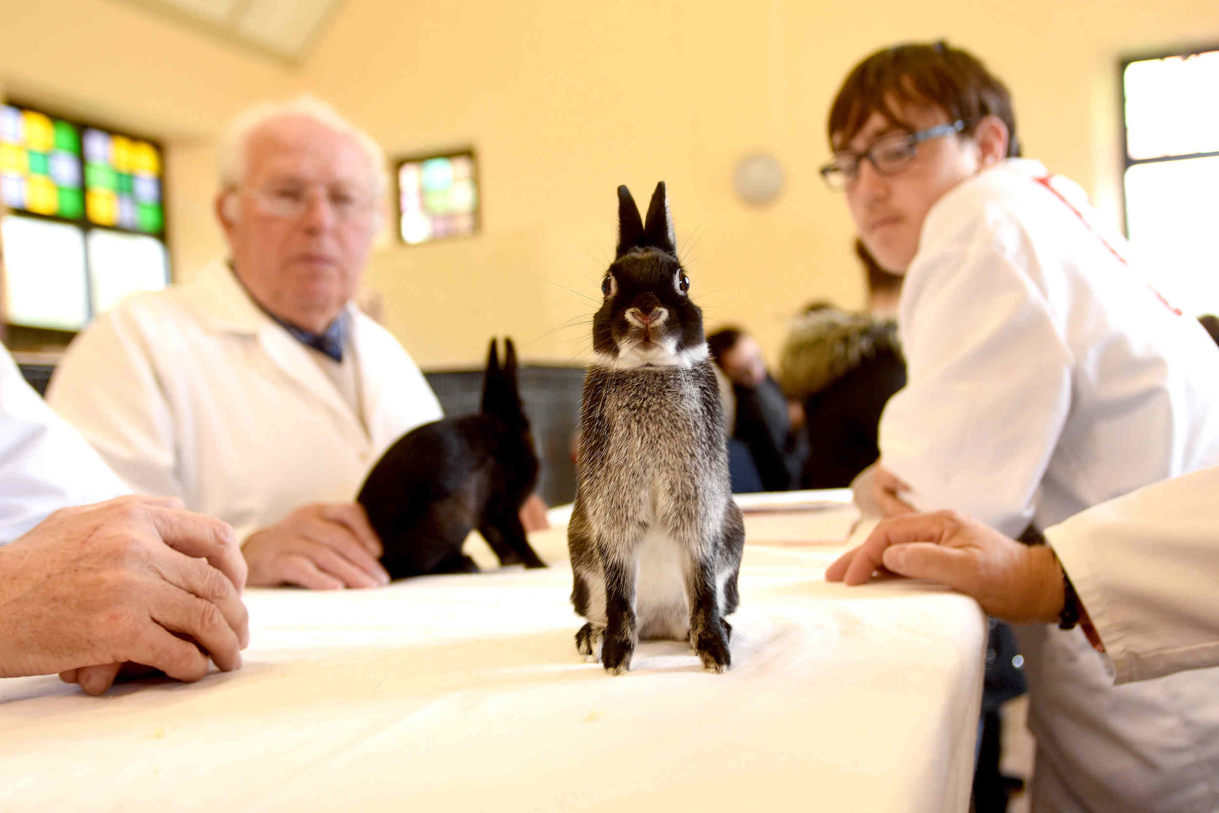 Judging at the Manx Bantam Fur and Feather Society show