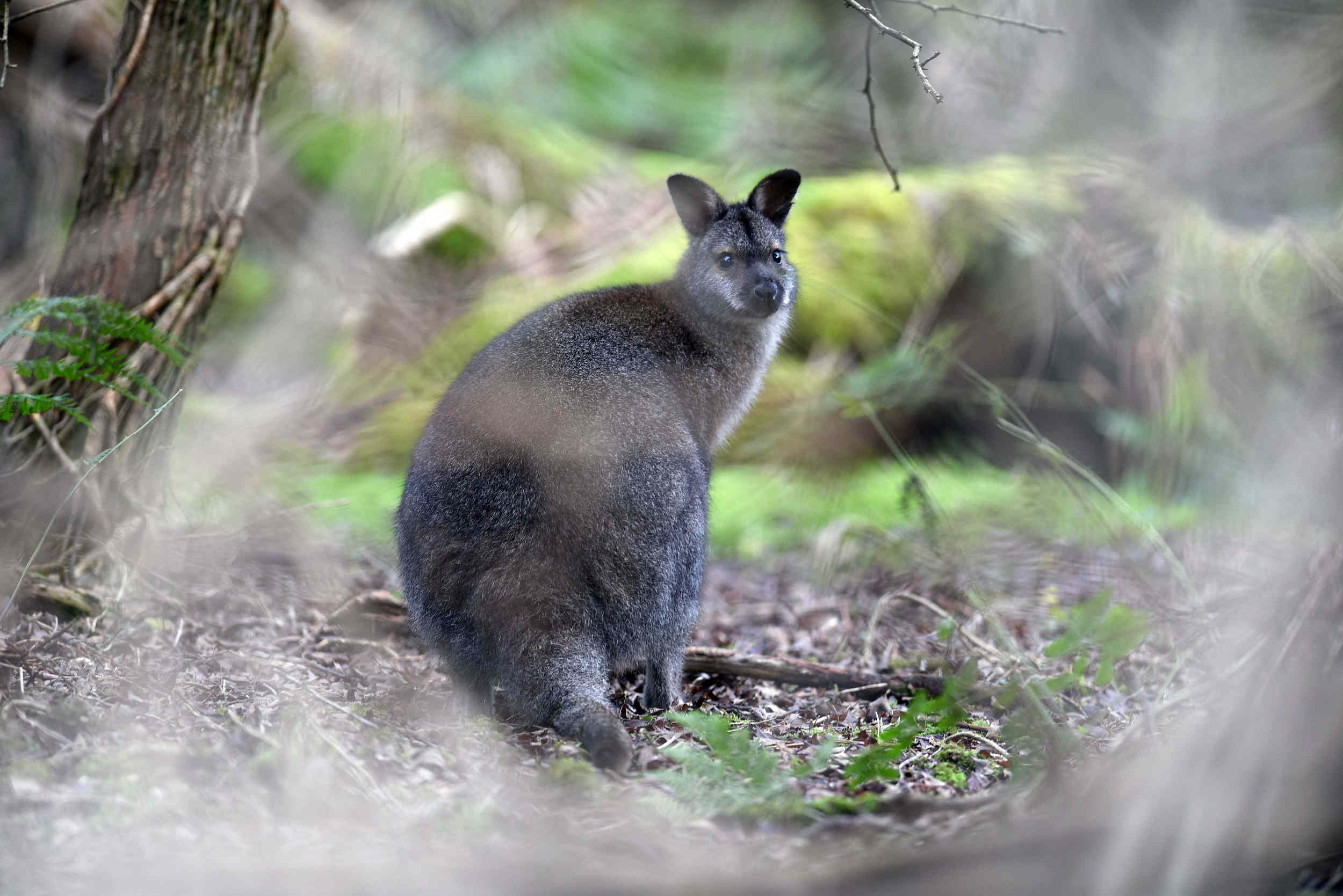 A wallaby at Close Sartfield on January 23, 2016