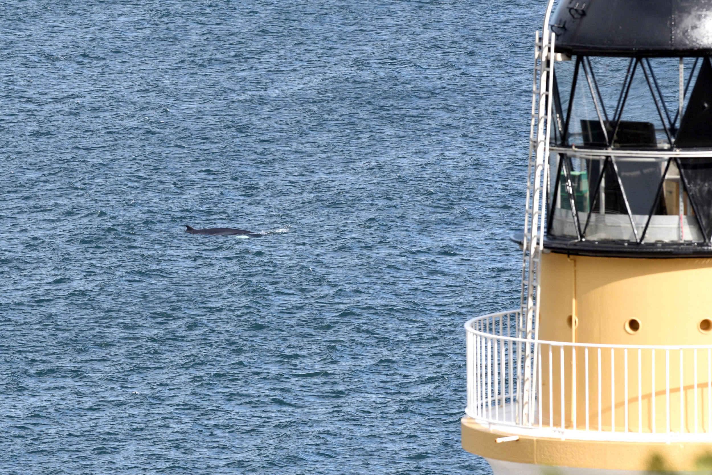 A minke whale feeding near Douglas Head