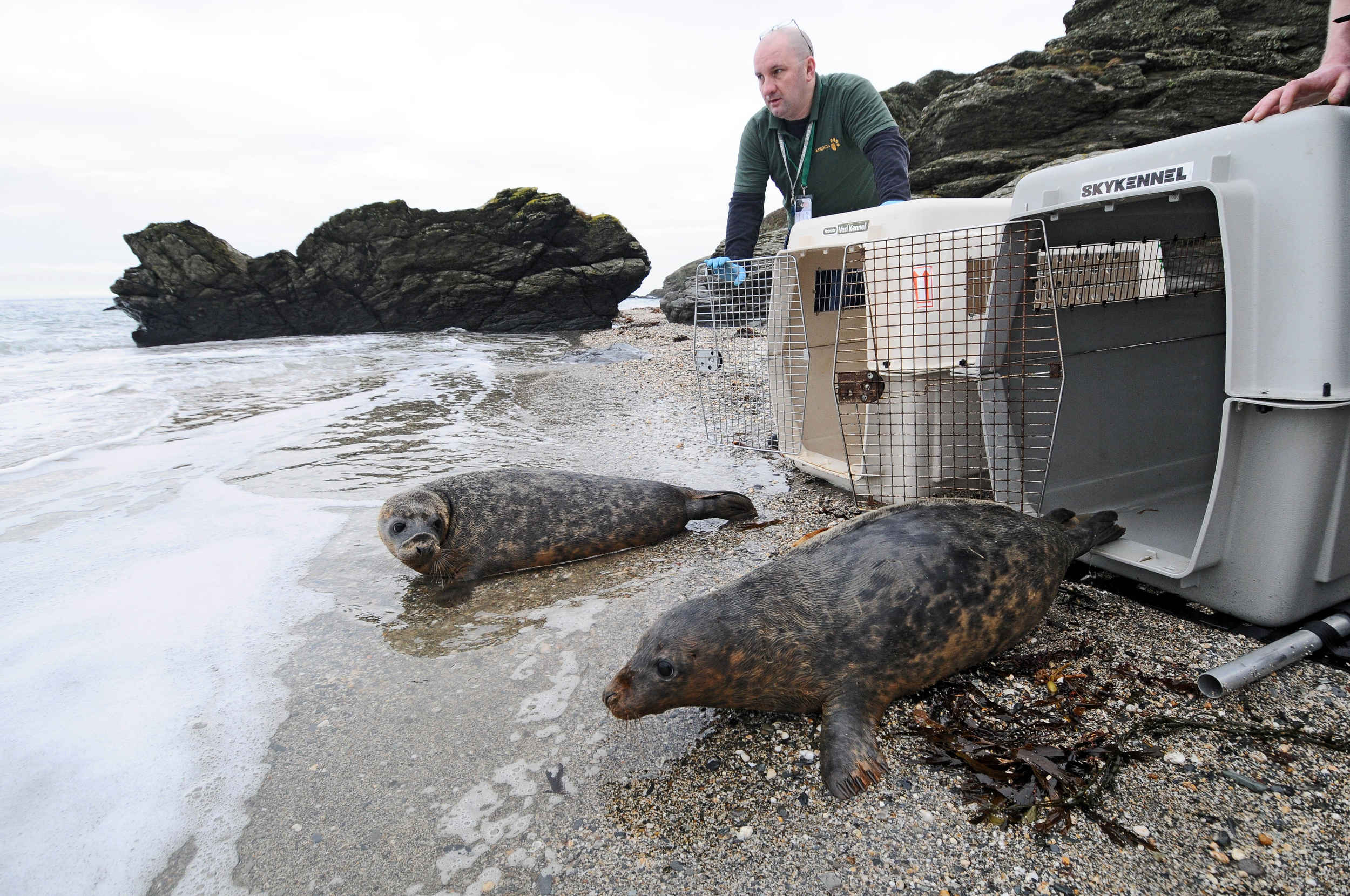 Seal pups Michael and Douglas are returned to the wild after being cared for by the MSPCA