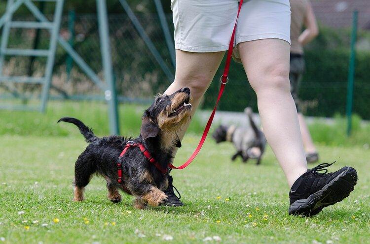 Loose Lead Walking Obedience Dog Training